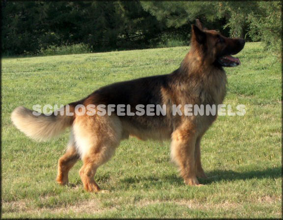 LONG COAT GERMAN SHEPHERD, BRONSON