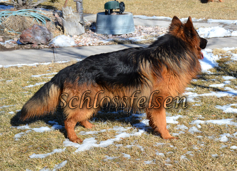 Long Coat German Shepherd, GROM