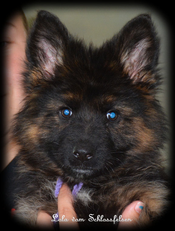 Long Coat German Shepherd Puppies, Long Hair German Shepherd ...