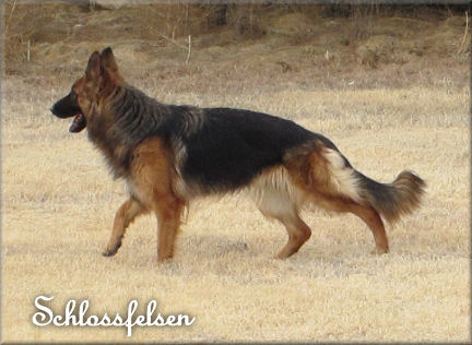 LONG COAT GERMAN SHEPHERD; NIKKI